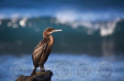 Cormorant La Jolla CA