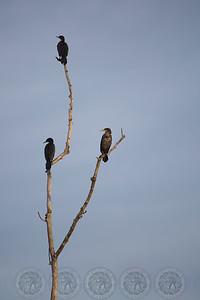 Cormorants Santee Lakes CA