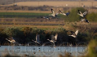 Sandhill Cranes Bosque Del Apache NWR NM