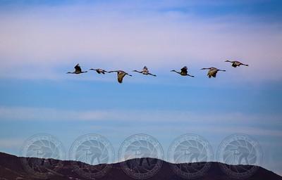 Sandhill Cranes Bosque Del Apache NM