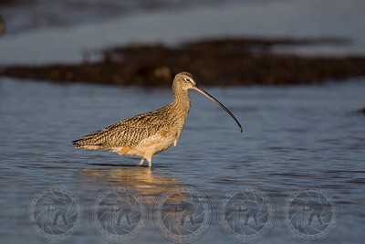 Curlew San Diego River Channel CA