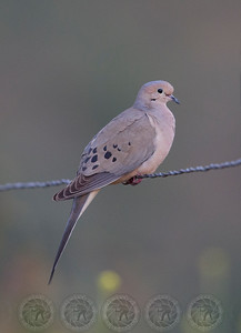 Mourning Dove Lake Hodges CA