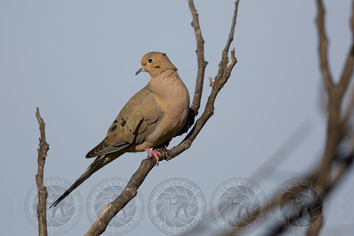 Mourning Dove Lake Jennings CA