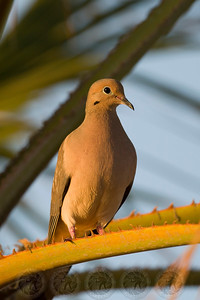 Mourning Dove Robb Field CA