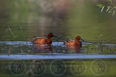 Cinnamon Teal Ducks Lindo Lake CA