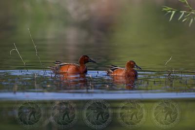Cinnamon Teal Ducks Lindo Lake CA