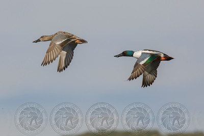 Northern Shovelers (Male & Female) Santee Lakes CA