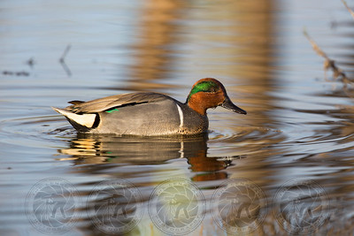 Green Wing Teal Duck Lindo Lake CA