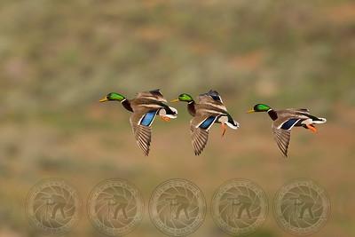 Mallard Ducks Santee Lakes CA