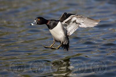 Ring Neck Duck Santee Lakes CA