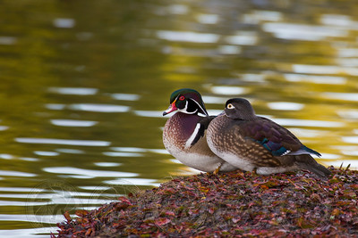 Wood Ducks Santee Lakes CA