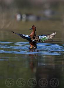 Cinnamon Teal Duck Lindo Lake CA