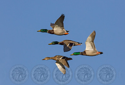 Mallard Ducks,  Santee Lakes CA