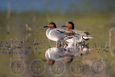Green Wing Teal Ducks Lindo Lake CA