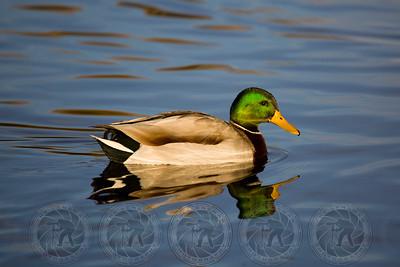 Mallard Duck Santee Lakes CA