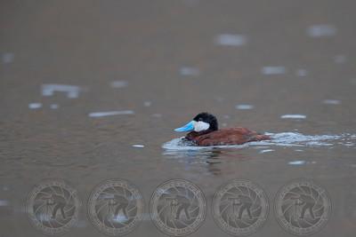 Rudy Duck Lake Hodges CA
