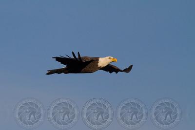 Bald Eagle Lake Jennings CA