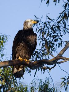 Immature Bald Eagle Lake Jennings CA