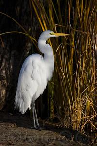 Great Egret Santee Lakes, CA