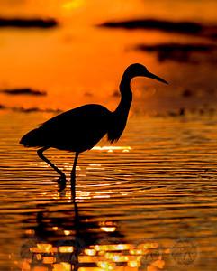Blue Heron San Diego River Channel