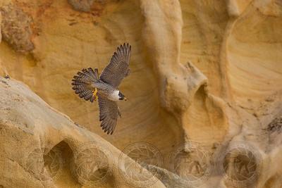 Peregrine Falcon Torrey Pines CA
