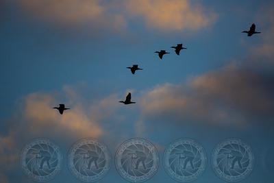 Ducks first flight Santee Lakes CA