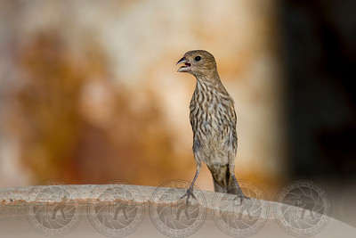 Juvenile House Finch Alpine CA