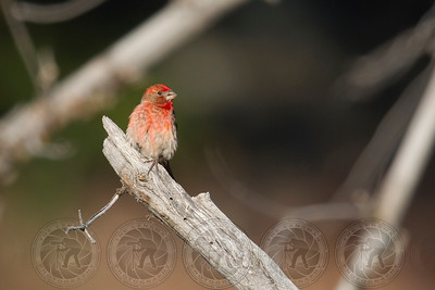 House Finch Cuyamaca State Park CA