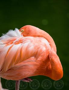 Pink Flamingo San Diego Zoo CA
