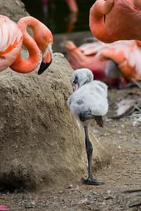 Pink Flamingo Chick San Diego Zoo CA