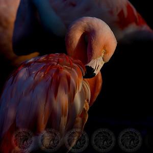 Pink Flamingo San Diego Zoo Safari Park