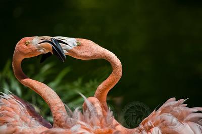 Pink Flamingos San Diego Zoo CA