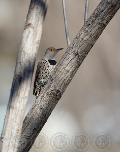 Red Shafted Northern Flicker Lindo Lake Lakeside CA