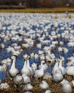 Canadian Snow geese Bosque Del Apache NM