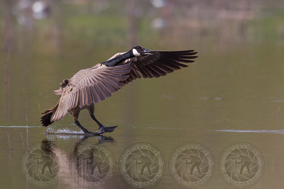 Canadian Goose Lindo Lake CA
