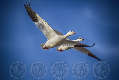 Canadian Snow Geese Bosque Del Apache N.M.