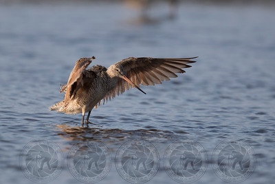 Godwit SD River Channel CA