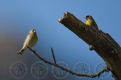 Male & Female Lawrences Goldfinch Lake Cuyamaca CA