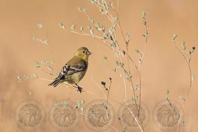 Lesser Goldfinch Cuyamaca State Park CA