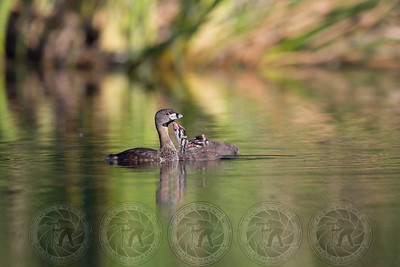 Pied-billed Grebe with young Mission Trails Park CA