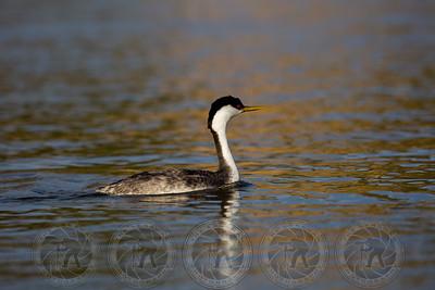 Western Grebe Santee Lakes CA