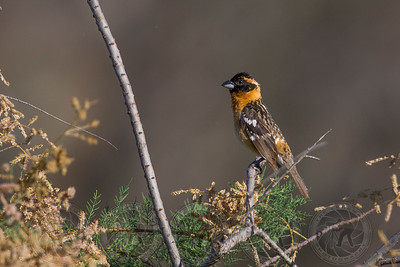Black Headed Grosbeak Lake Jennings CA