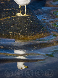 Sea Gull La Jolla CA