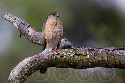 Coopers Hawk Alpine CA