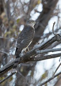 Sharp Shinned Hawk Cuyamaca State Park CA