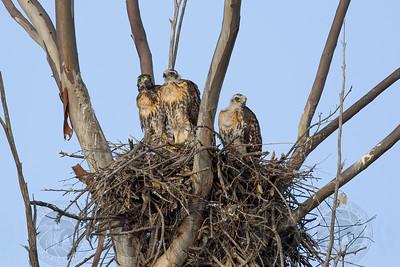 Juvenile Red Tail Hawks San Diego CA