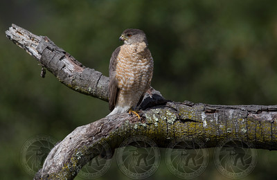 Coopers Hawk Alpine CA