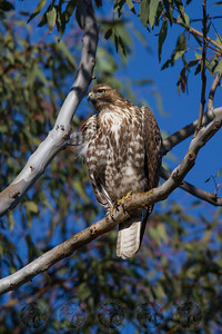 Juvenile Red Tail Hawk Lake Jennings
