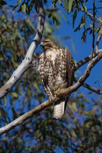 Juvenile Red Tail Hawk Lake Jennings