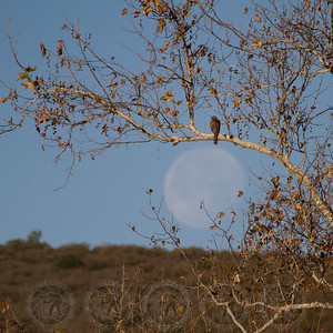 Hawk enjoying the Moonset @ Santee Lakes CA